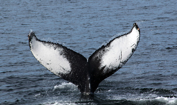 Photo Courtesy of Wise Laboratory/Ocean Alliance. Gloucester Daily Times. Humpback whale.