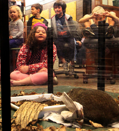 MANCHESTER—Children at the Manchester Public Library sit quietly so as not to disterb the woodchuck before them on Wednesday afternoon. This animal was brought up, along with a hawk, from Drumlin Farm Wildlife Sanctuary in Lincoln as part of a Mass Audubon sponsored education program, teaching children about mammals and birds. Jesse Poole/Gloucester Daily Times Nov. 17, 2011