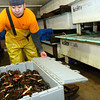 ALLEGRA BOVERMAN/Staff photo. Gloucester Daily Times. Gloucester: Neri Blas, manager of the lobster department at Intershell Seafood Corp., grades lobsters, packs them into containers in 100-pound increments. The lobsters were then going into chilled water tanks to properly stabilize the lobsters for shipping.