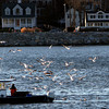 ALLEGRA BOVERMAN/Staff photo. Gloucester Daily Times. Rockport: Gulls flock around a fishing boat working in Rockport on Friday afternoon.