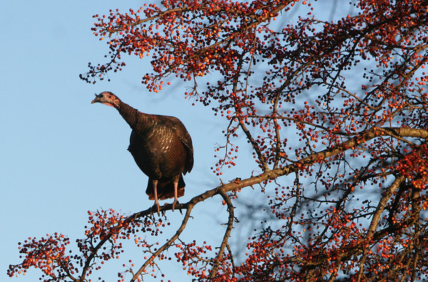 ALLEGRA BOVERMAN/Staff photo. Gloucester Daily Times. Rockport: A group of turkeys were grazing on the ground and flying up into a tree to eat berries along Marmion Way in Rockport on Friday afternoon.