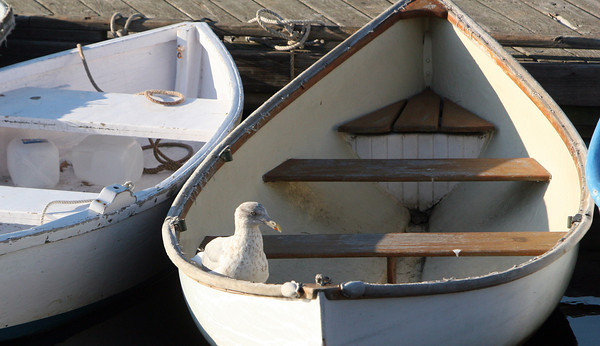 ALLEGRA BOVERMAN/Staff photo. Gloucester Daily Times. Manchester: A gull was sipping fresh water that was collected in a dinghy at the town docks in Manchester on Wednesday afternoon.