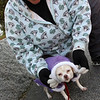 Allegra Boverman/Gloucester Daily Times. Stacie Monahan of Gloucester tries to put a new hooded sweater on her half terrier, half Chihuahua Kelly, but Kelly, 6, did not like it one bit, during their afternoon walk on Prospect Street on Thursday afternoon.