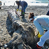 Rockport: Volunteers cut the flesh off the tail and spine of a young adult Fin whale Thursday morning at Cape Hedge Beach.    Desi Smith/Gloucester Daily Times. November 1,2012.