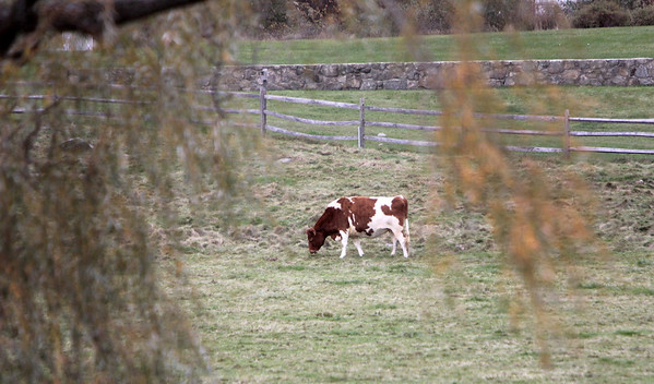 ALLEGRA BOVERMAN/Staff photo. Gloucester Daily Times. A cow grazes at Bothways Farm in Essex on Monday.