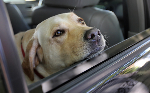 Allegra Boverman/Gloucester Daily Times. A yellow lab enjoys the pleasant weather and breeze through a wide open car window on Friday afternoon in Manchester near the Manchester Public Library while awaiting its owners' return to their vehicle.