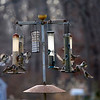 Allegra Boverman/Gloucester Daily Times. Birds throng to a cluster of bird feeders on Summit Avenue in Rockport on Friday afternoon.