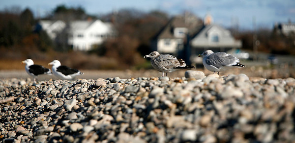 Allegra Boverman/Gloucester Daily Times. Gulls watch carefully over Cape Hedge Beach on Wednesday in Rockport.