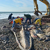 Rockport: Members of the National Marine Fisheries Service and volunteers remove the Rostrum the (top jaw) and the flesh off a young adult Fin whale Thursday morning at Cape Hedge Beach.    Desi Smith/Gloucester Daily Times. November 1,2012.