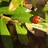 Allegra Boverman/Gloucester Daily Times. A ladybug sits in the sun on plants in front of the Rockport Public Library.