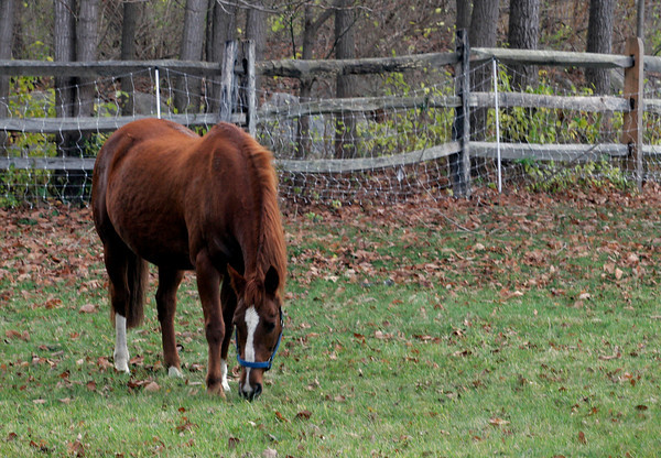 Essex: A horse grazes in a field off Lufkin Street yesterday afternoon. Photo by Kate Glass/Gloucester Daily Times