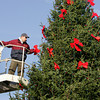 Gloucester: Nick Curcuru puts the red bows on the Christmas tree at Kent Circle Saturday morning. The tree decorating was finished Saturday in preparation for the tree lighting ceremony which will be held around 4:15 just after the Santa parade Sunday.  Mary Muckenhoupt/Gloucester Daily Times