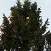 Manchester: Manchester Firefighter Bob Cavender and an employee of R.P. Lations Tree Service check the position of the snowflake on top of the tree in front of Town Hall yesterday in preparation for the official lighting. The tree lights are paid for by the Women's Club of Manchester. Photo by Kate Glass/Gloucester Daily Times