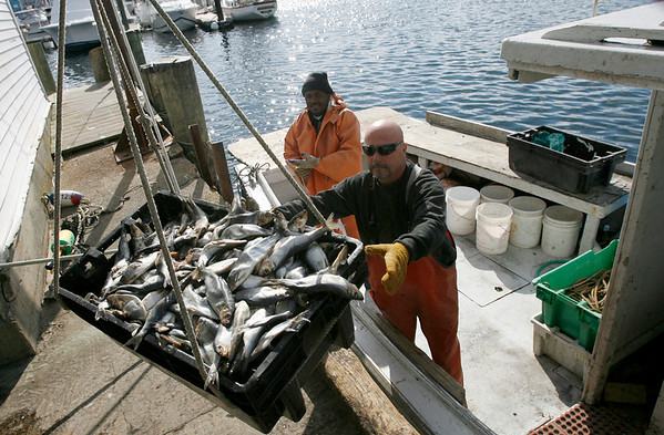 Gloucester: George Hardy, right, and Basilio Valerio pick up salted herring at Captain Joe & Sons to use for lobster bait before hauling their traps yesterday afternoon. The Science and Statistical Committee has recommended reducing herring landings by 50 percent, which would impact the operating costs for all lobstermen. Photo by Kate Glass/Gloucester Daily Times Tuesday, October 6, 2009