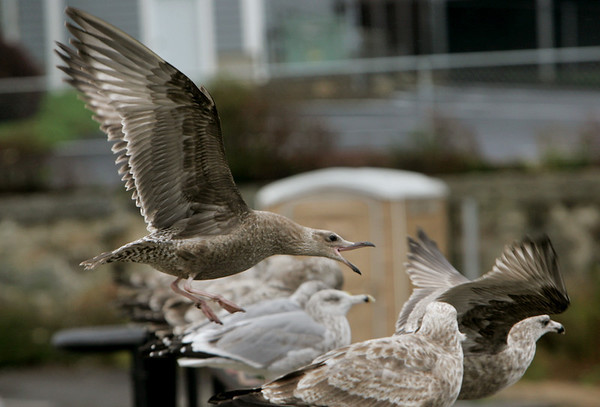 Gloucester: A seagul scares off another seagul to secure a spot on the railing at Stacy Bouevard Friday afternoon. Mary Muckenhoupt/Gloucester Daily Times