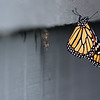 Essex: A monarch butterfly hangs by it's chrysalis in the courtyard of Essex Elementary School Friday afternoon. This year about six monarch caterpillar's made thier chrysalises in the school's courtyard with three already hatched. One hatched in the kindergarten classroom and the butterfly was released out the window. Mary Muckenhoupt/Gloucester Daily Times
