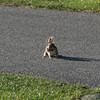 Gloucester: A chipmunk carries its food across the cart path at Bass Rocks Country Club as it prepares for the cold months ahead. Photo by Kate Glass/Gloucester Daily Times Tuesday, October 19, 2009