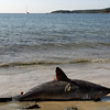 Gloucester: A small mako shark washed up on Pavilion Beach yesterday morning. Photo by Kate Glass/Gloucester Daily Times Monday, October 5, 2009