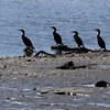 Four loons sit along wooden logs in Mill Pond on a cool October afternoon. David Le/Gloucester Daily Times