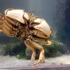 Allegra Boverman/Gloucester Daily Times. Maritime Gloucester's aquarium is home to a variety of local sea dwellers, including crabs of various sizes and types.