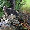 Allegra Boverman/Gloucester Daily Times. A cat almost blends in with the stone wall it alighted on along Main Street in Rockport on Monday.
