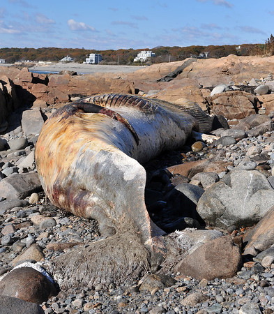 Desi Smith/Gloucester Daily Times. This male finback whale, dead for some time, washed up on Saturday on the beach off Penzance Road in Rockport. This is the same dead whale that had been seen on islands in Boston Harbor two weeks ago.