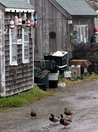 Allegra Boverman/Gloucester Daily Times. Mallard ducks stroll along in Pigeon Cove in Rockport after a day out on the water.
