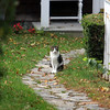 Allegra Boverman/Gloucester Daily Times. A cat sits along the path to a home along Main Street on Monday.