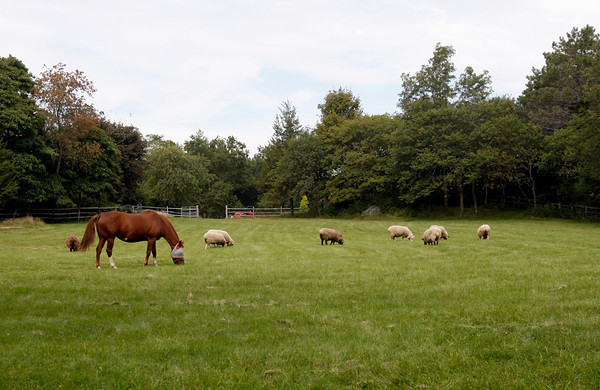 Essex: A horse and several sheep graze in a field on Lufkin Road in Essex. Photo by Kate Glass/Gloucester Daily Times Tuesday, September 22, 2009