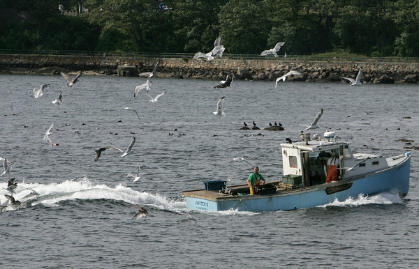 Gloucester: A flock of seaguls follow a fishing boat headed toward the cut bridge Thursday afternoon. Mary Muckenhoupt/Gloucester Daily Times