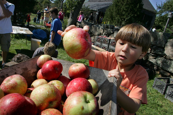 Essex: Rafi Santomenna, 6, tosses an apple into the cider press at the Cox Reservation Fall Festival Saturday afternoon. Once the bin was filled the apples were pressed and the juice was handed out for the kids to taste. Mary Muckenhoupt/Gloucester Daily Times