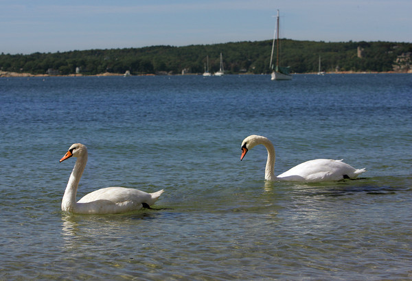 Gloucester: A pair os swans make their way down the Niles Beach Thursday afternoon. Mary Muckenhoupt/Gloucester Daily Times