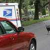 Rockport: A turkey runs in front of a car on South Street to chase a mail truck down Brooks Road Friday afternoon. This is one of two turkeys that follow the mail truck and mailman everyday making mail delivery to certain homes very challenging. Mary Muckenhoupt/Gloucester Daily Times