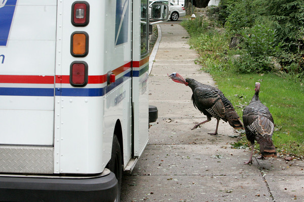 Rockport: Two turkeys attack a mail truck delivering mail to homes on South Street Friday afternoon.   The turkeys follow the mail truck and mailman everyday making mail delivery to certain homes very challenging. Mary Muckenhoupt/Gloucester Daily Times