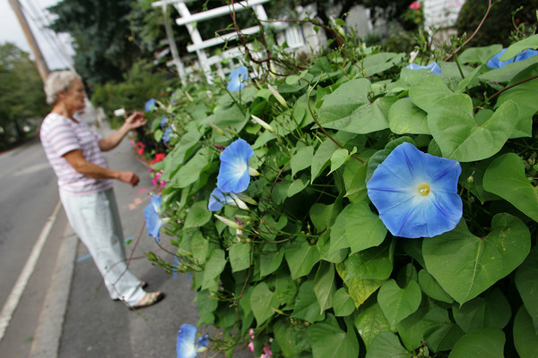 Rockport: Ellie Harris prunes her morning glories that have taken over the fence in front of her Railroad Avenue home in Rockport Thursday afternoon.  Harris only planted three small morning glory plants last May and now she is getting all kinds of compliments from passers by on how beautiful the plant is that covered her fencing.  Mary Muckenhoupt/Gloucester Daily Times
