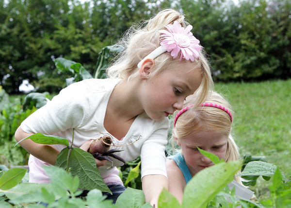 "West Parish Elementary students Emma Smith, left, and Elle Fleming, pick assorted vegetables from the garden in front of their school on ""Harvest Day."" David Le/Gloucester Daily Times"