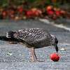 Allegra Boverman/Gloucester Daily Times. A gull munches on a fallen apple in the parking lot of St. John's Episcopal Church in Gloucester on Thursday evening.