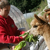 Allegra Boverman/Gloucester Daily Times. Jennifer Marshall of Marshall's Farm Stand, gives Romaine lettuce to Dakota, one of two alpacas that have been at the farm since spring.