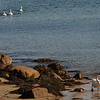 Jim Vaiknoras/Gloucester Daily Times: <br /> Seven swans a swimming, well, five a swimming and two a walking, on Front Beach in Rockport. The bevy has been seen through out this past year