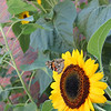 ALLEGRA BOVERMAN/Gloucester Daily Times A butterfly alights on a sunflower in the new garden at Golden Living Center in Gloucester.
