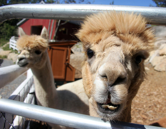 Allegra Boverman/Gloucester Daily Times Pokey, left, and Dakota are alpacas that have been living at Marshall's Farm Stand since the spring.