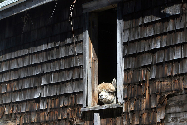 Allegra Boverman/Gloucester Daily Times Pokey, one of two alpacas at Marshall's Farm Stand in Gloucester, peeks out of his barn on Tuesday morning. He and Dakota, another alpaca, are new to the farm as of this past spring.