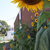 "ALLEGRA BOVERMAN/Gloucester Daily Times ALLEGRA BOVERMAN/Gloucester Daily Times George Cohen, a resident at Golden Living Center in Gloucester, tends the sunflowers in the new garden there. He waters them once a day. He and nurse Rita C. Murray Riley have been working on the new walled garden since the spring, she has long been beautifying the grounds around the center, too. Many of the sunflowers have grown tall enough to reach the second floor of the building. Cohen likes gardening and had planted a mix of dwarf and mammoth sunflowers, and all of them are his favorites, he said. They are against the side of the center's wall and also some are along the back of the building. ""They're happy with just enough sun, and they bloom at night,"" he said. The sunflowers in this garden are visible from Washington Street towering above the fence, and get sun on that side from sunrise to noon."