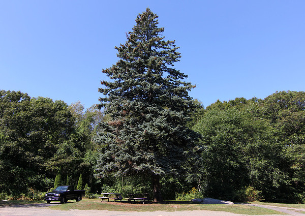 Allegra Boverman/Gloucester Daily Times. This evergreen was tiny when the Restcroft Hospital was at this site in Haskins Park in Rockport on Summit Avenue.