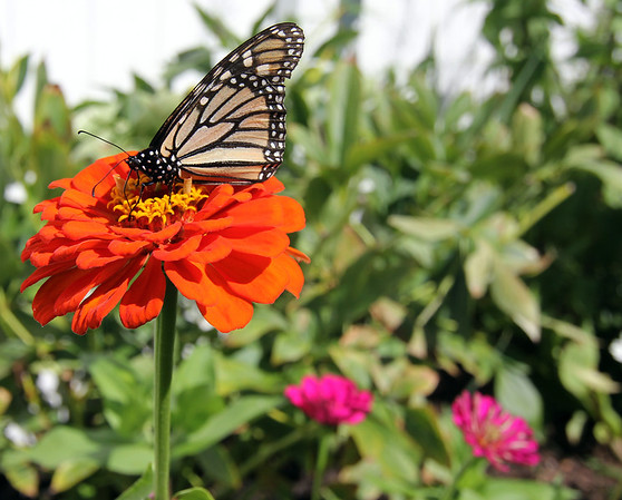 ALLEGRA BOVERMAN/Gloucester Daily Times A monarch butterfly alights on a bright orange zinnia at the Golcen Living Center's garden. The fenced-in garden taht is full of annual and perennial plants and flowers is new as of this past spring to the center, and has been a bit hit with residents.