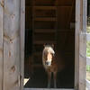 Allegra Boverman/Gloucester Daily Times. Shiloh is one of two minature horses that have been at the Marshall's Farm Stand since last fall. Cricket is the other miniature horse. They share space with Jasper, a donkey who joined the farm in the spring.