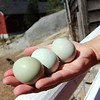 Allegra Boverman/Gloucester Daily Times. Jennifer Marshall of Marshall's Farm Stand, shows some of the colored eggs that are from their Americana chickens - some are green, some are blue. Jamal, one of their goats, is in the background.