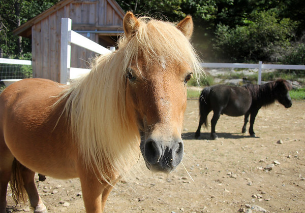 Allegra Boverman/Gloucester Daily Times. Shiloh, front, is one of the minature horses that have been at the Marshall's Farm Stand since last fall. Cricket is the other miniature horse, right. They share space with Jasper, a donkey who joined the farm in the spring.