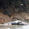 Dead Minke Whale in Folly Cove