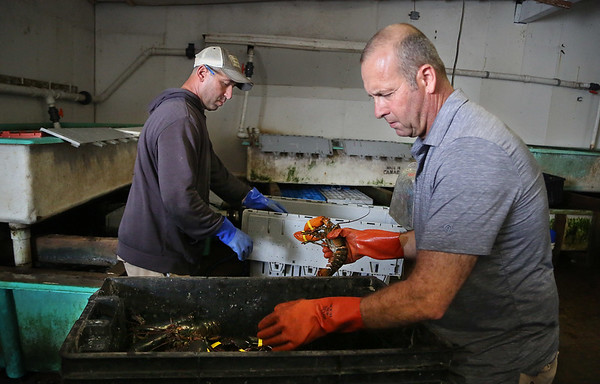 MIKE SPRINGER/Staff photo<br /> Frankie Ciaramitaro, left, and Joey Ciaramitaro process a fresh catch of lobsters Friday at Captain Joe & Sons in Gloucester.<br /> 8/2018